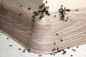 Jak se zbavit mravenců vdomácnosti snadno a rychle